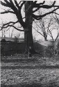 Preview image of McGuffey Ash tree