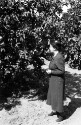 Preview image of Unidentified woman standing in front of an orange tree.